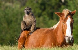 The famous Monkeyland Horses and wild Baboons