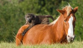 The unlikely friendship of a horse and baboon
