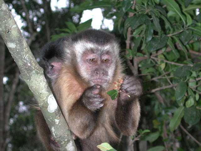 Chippie the Capuchin